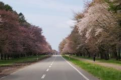 二十間道路桜並木-3.JPG