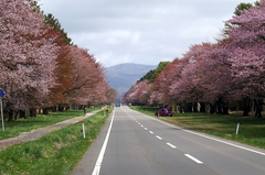 二十間道路桜並木-7.JPG
