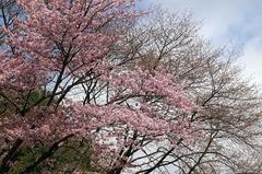 二十間道路桜並木-1.JPG