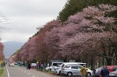二十間道路桜並木-8.JPG