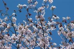 二十間道路桜並木-桜.JPG
