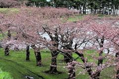 桜の五稜郭公園-07.JPG