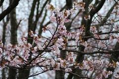 桜の五稜郭公園-06.JPG
