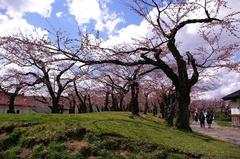 桜の五稜郭公園-05.JPG