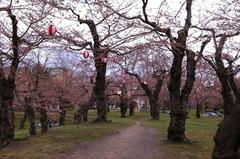 桜の五稜郭公園-02.JPG