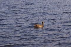 ウトナイ湖がん.jpeg