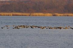 ウトナイ湖渡り鳥1.jpeg