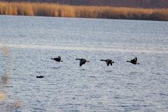ウトナイ湖渡り鳥6.jpeg
