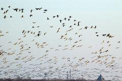 ウトナイ湖渡り鳥4.jpeg