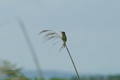 サロベツ湿原_野鳥.JPG