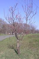 平岡公園紅梅1
