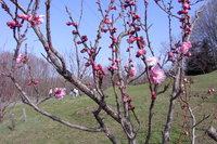 平岡公園紅梅つぼみ1