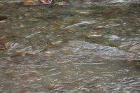 ウソタンナイ川鱒の遡上1