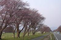 20間道路桜並木左