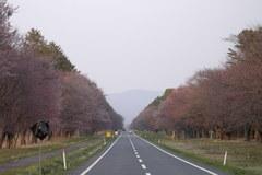 20間道路桜並木