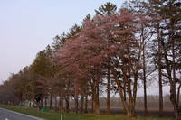 20間道路桜並木右