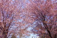 昨年の今頃のサイクリングロード桜