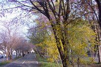 昨年の今頃の桜